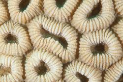 BD-120420-Fury-Shoal-5716-Dipsastraea-favus-(Forskål.-1775)-[Knob-coral].jpg